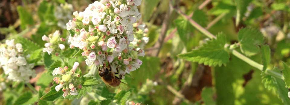 catnip bee